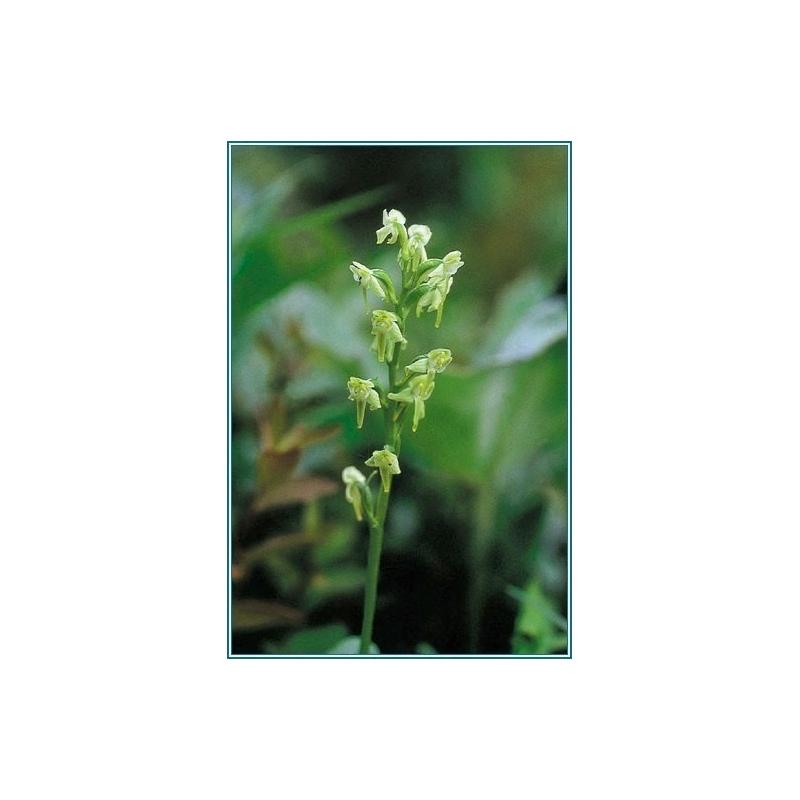 GREEN BOG ORCHID