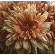 Chrysanthemum — Chrysant