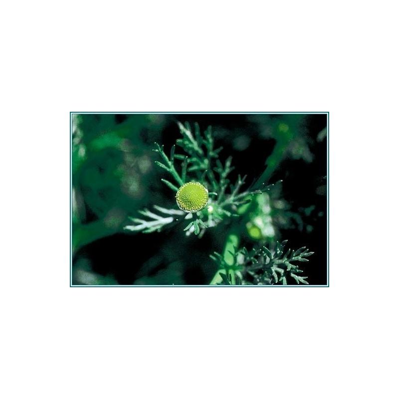 PINEAPPLE WEED