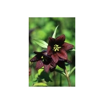Chocolate Lily