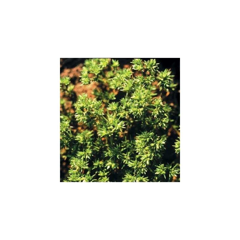 Hardbloem (Scleranthus)