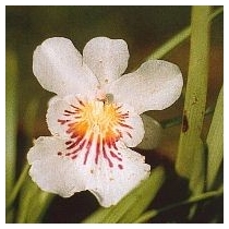 ANGEL OF PROTECTION ORCHID