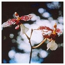CHANNELLING-ORCHID