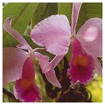 INSPIRATION ORCHID