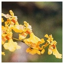 LOVE-ORCHID