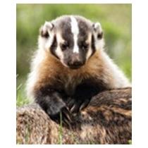 Badger Cub - (Dassenwelp)