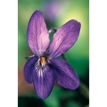 Violet — Viooltje