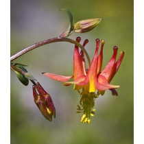 Columbine (Range of Light)