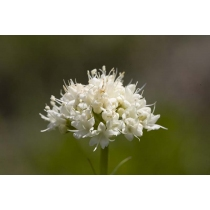 Californian Valerian (Range of Light)