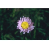 Alpine Aster (Range of Light)