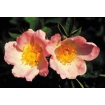 Hondsroos (Wild Rose)