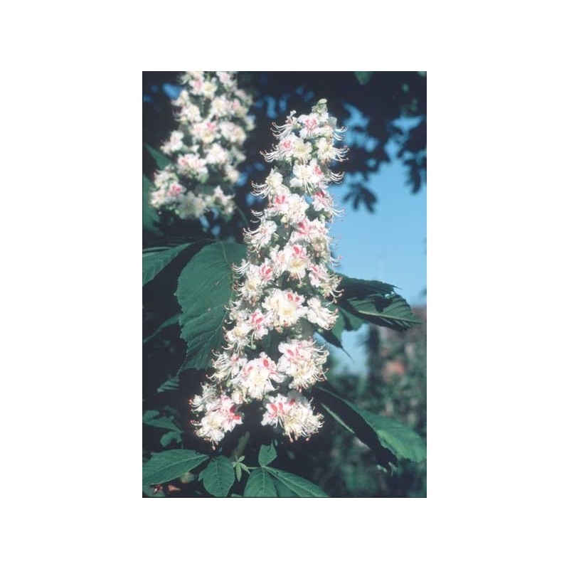 Paardekastanje (White Chestnut)