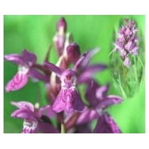 Orchid - Lapponian 10ml