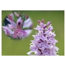 Orchid - Heath Spotted 10ml