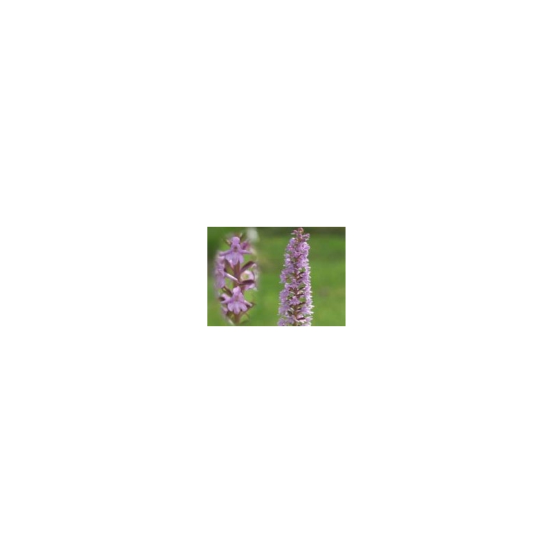 Orchid - Fragrant 10ml