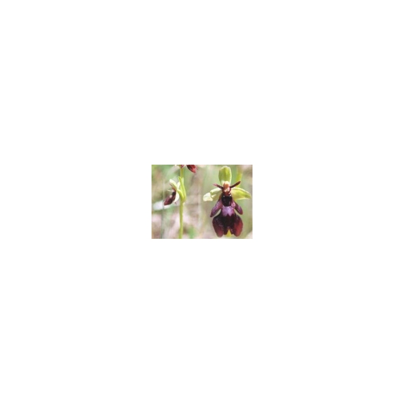 Orchid - Fly 10ml