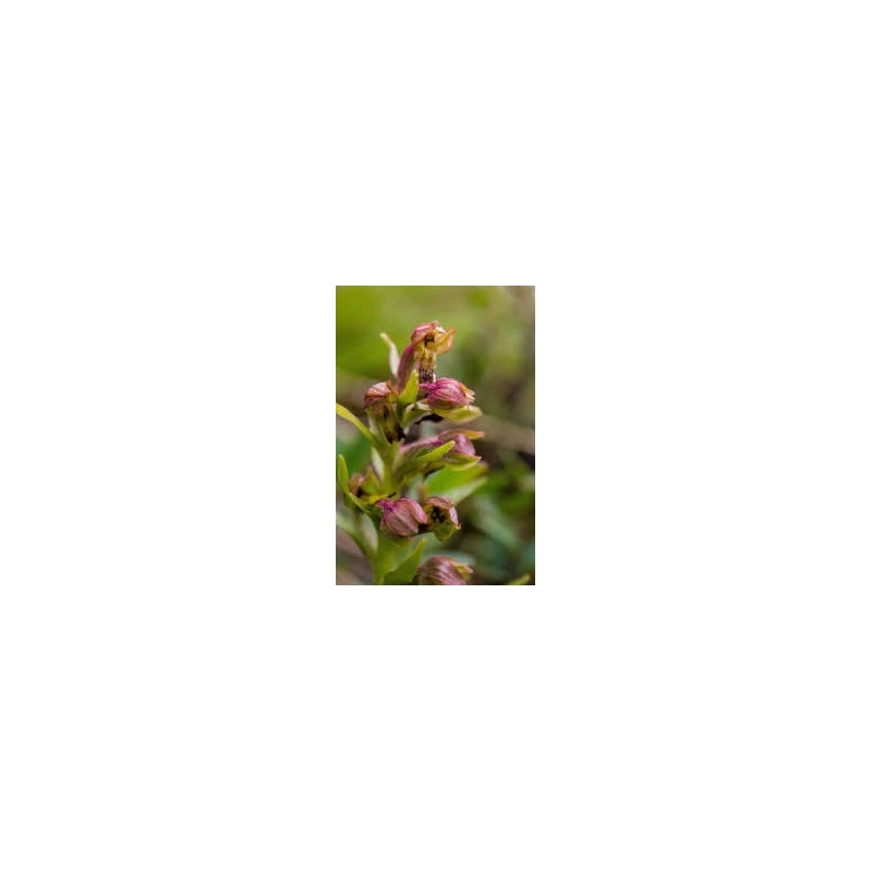 Orchid - Frog 10ml - Set 2