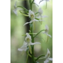 Orchid - Lesser Twayblade 10ml - Set 2