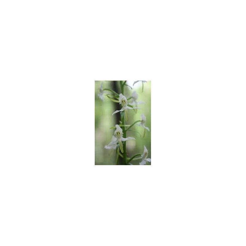 Orchid - Lesser Twayblade 10ml - Set 2