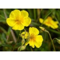 Zonneroosje (Rock Rose)