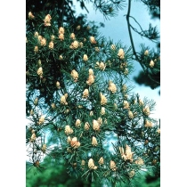 Den (Pine)