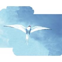 Arctic Tern - Noordpoolstern