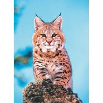 Bobcat - Rode Lynx