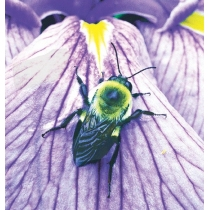 Bumblebee - Hommel