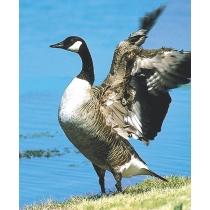Canada goose - Canadese gans