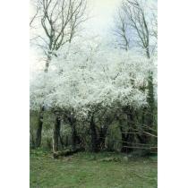 Kerspruim (Cherry Plum)