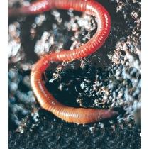 Earthworm - Regenworm