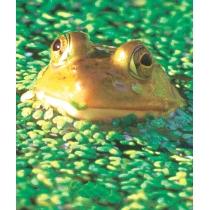 Frog - Kikker
