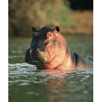 Hippopotamus - Nijlpaard