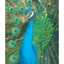 Peacock - Pauw