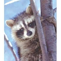 Raccoon - Wasbeer