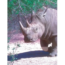 White Rhinoceros - Witte Neushoorn