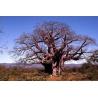 Platbos African Tree remedies